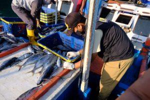 Inspeksi Pengendalian Mutu Hasil Perikanan: Ikan Pelagis Besar yang Didaratkan di Bulan April 2021 Memiliki Mutu yang Baik